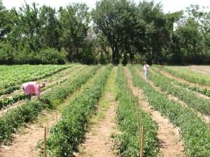Tomatoes June 9