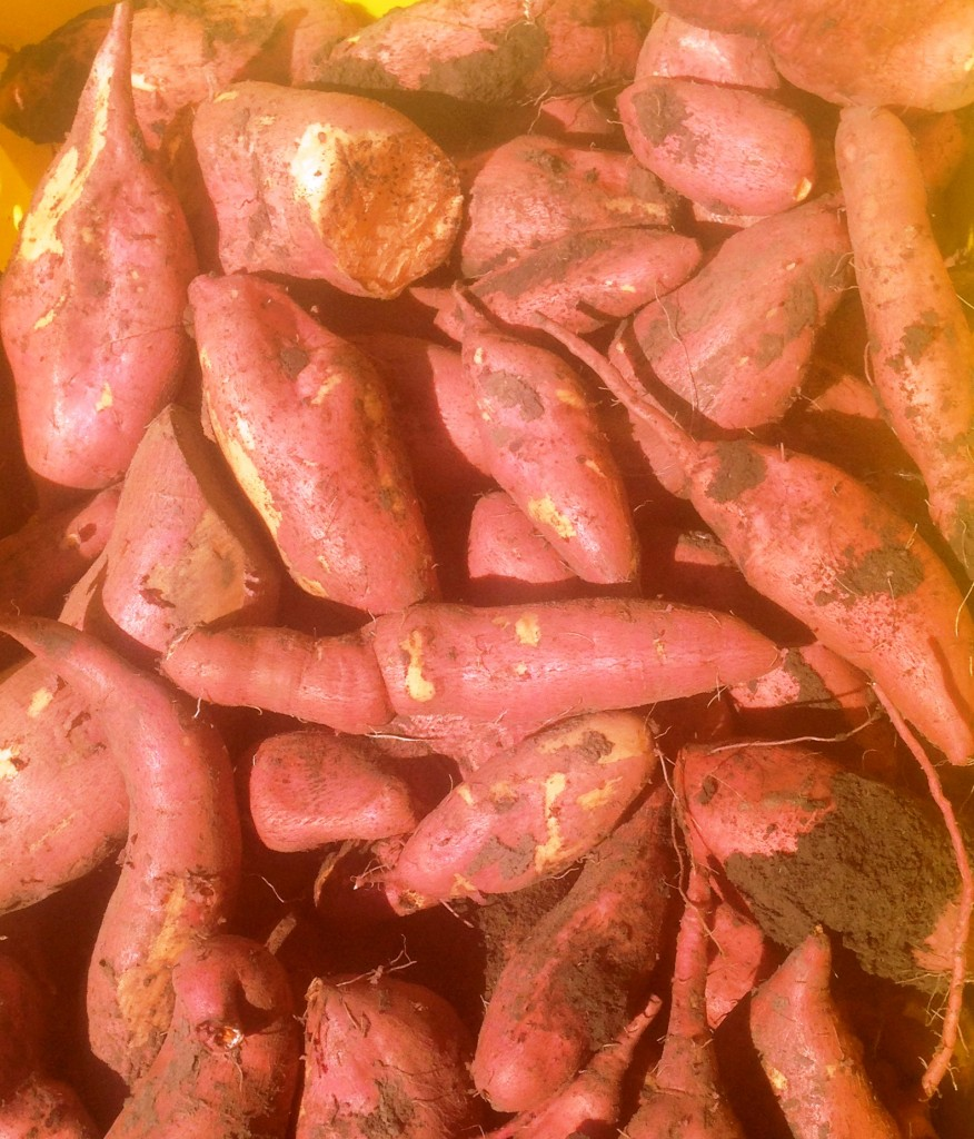 Get plenty of orange and white sweet potatoes; just harvested