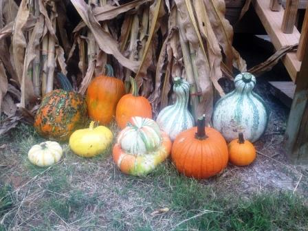 Pumpkins and squash at Meadowlark Farm
