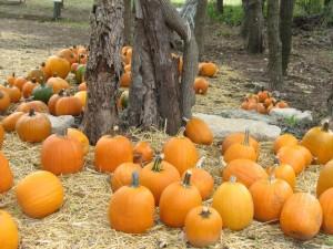 Pumpkins 2 (3)